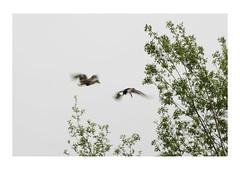6. Ducks (LouSmith52) Tags: trees white green flying duck background wetlands mallard barnes muted