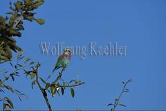 10075509 (wolfgangkaehler) Tags: africa bird african wildlife roller zambia southernafrica 2016 lilacbreastedroller zambian southluangwanationalpark rollerbird lilacbreastedrollers lilacbreastedrollercoraciascaudatus lilacbreastedrollercoraciascaudataus