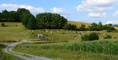 (:Linda:) Tags: germany thuringia village cow pasture poppenwind curvy path landscape corn maize