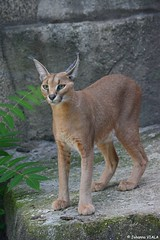 Caracal (Johanna Viala) Tags: menageriedujardindesplantes animal caracal