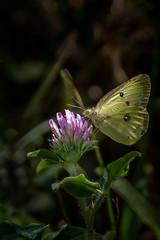 Mid-Summer Gold (Portraying Life) Tags: michigan unitedstates naba dundeebutterflycount handheld nativelighting closecrop da3004hd14tc