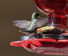 Hummingbird_1787 (Porch Dog) Tags: 2016 garywhittington kentucky nikond750 fx nikon200500mm hummingbird avian nature wildlife feathers bird summer august birdfeeder backyard