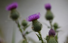 Thistle (careth@2012) Tags: thistle petals nature