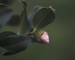 budding (<be>) Tags: budding bud flower camellia pink spring new start begin