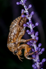 cicada larva shell (Yunhyok Choi) Tags: pentaxk3 k3 korea pentax seoul asahi bug cicada closeup insect larva macro macrophotograph     kr