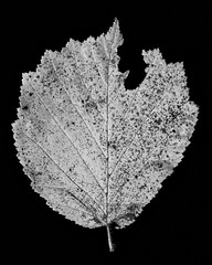 Autumn colors in b&w (Antti Tassberg) Tags: 100mm autumn bw blackandwhite fall kasvi leaf lehti lens macro minimalistic monochrome plant prime phkinpensas studio syksy