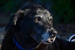 Kiva Beach dog (bmullaney1) Tags: black dogs rule kiva beach lake tahoe
