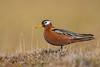 Summer flings (Khurram Khan...) Tags: redphalarope shorebirds seaandshorebirds arctic barrow ilovenature iamnikon nikonnofilter naturephotography naturephotos khurramkhan wwwkhurramkhanphotocom