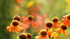 Butchart Gardens - Explored Oct 8th, 2016 (Sandra_Gilchrist) Tags: sandragilchrist butchart gardens flowers bokeh daisy shallowfocus orange green pink yellow brown vancouverisland