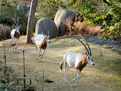 La course des Oryx (Raymonde Contensous) Tags: paris france zoodevincennes pzp parczoologiquedeparis