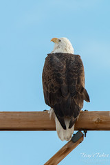 The pole sitting Bald Eagle sees trouble from above