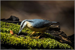 One from the spring - European Nuthatch.  Explored 20Dec14 (Smudge 9000) Tags: uk winter birds kent nuthatch 2014 europaea sitta bossenden