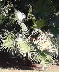 ShadedPalm (Sanjiv Gandhi2012) Tags: light green beautiful natural palm foliage shade greenery
