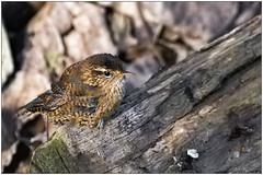 Scricciolo (Fausto Deseri) Tags: wren troglodytestroglodyteds scricciolo sitodimanzolino wildlife nature birds wild oasiditivolimanzolino pentaxk3 pentaxfa300mmf45edif tckenkoaf15x