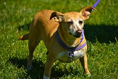 Perky Ears (swong95765) Tags: dog small ears stout stance perky