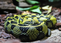 Bitis Parviocula (lennartsson.amanda) Tags: beautiful dangerous colorful sweden snake venomous bitis puffadder parviocula
