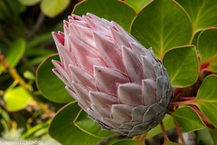 protea cynaroides, Tresco Abbey, jdy261 XX201109187838.jpg (rachelgreenbelt) Tags: uk greatbritain england mix europe cornwall unitedkingdom islesofscilly floweringplants scillyisles proteacynaroides proteaceae magnoliophyta eudicots suikerbos orderproteales familyproteaceae proteales kingsugarbush trescoabbey proteaceaefamily sugarbushes indigenoustosouthafrica trescoisland protealesorder spermatophytes proteagenus