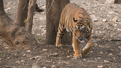 Royal Bengal Tiger (Raymond J Barlow) Tags: travel india animal cat wildlife tiger adventure bigcat raymondbarlow raymondbarlowphototours