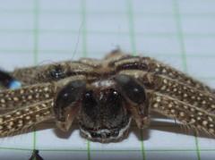 Sparassidae>Neosparassus calligaster Shield Huntsman spider DSCF5600 (Bill & Mark Bell) Tags: exmouth westernaustralia australia geo:town=exmouth geo:state=westernaustralia geo:country=australia geo:lon=11425453egeolat2217752sgeoalt8m 11425453e2217752salt8m taxonomy:kingdom=animalia animalia taxonomy:phylum=arthropoda arthropoda taxonomy:class=arachnida arachnida taxonomy:order=araneae araneae taxonomy:superfamily=sparassoidea sparassoidea taxonomy:family=sparassidae sparassidae taxonomy:genus=neosparassus neosparassus calligaster taxonomybinomialnameneosparassuscalligaster neosparassuscalligaster taxonomycommonnameshieldhuntsmanspider shieldhuntsmanspider spider