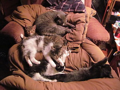 five cats a laying (green rumble) Tags: cats cat five smudge granite pearl lounging recliner winston greyboy