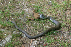 Le serpent et le crapaud (fa5962) Tags: miseaupoint faiblecontraste qualitémoyenne limousin serpent crapaud france 400d hautevienne frédéricadant adant