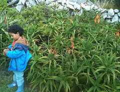 Young Prime & hybrid Aloe (David Matzdorf) Tags: capeclear exoticgarden comillane