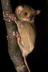 Borneo Tarsier (antonsrkn) Tags: wild nature fauna night forest mammal asia nocturnal jungle valley malaysia borneo tarsier danum vulnerable cites iucn cephalopachus cephalopachusbancanus horsfieldstarsier