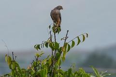 Buteo magnirostris (Jos M. Arboleda) Tags: bird canon colombia jose ave gaviln arboleda buteo magnirostris popayn 5dmarkiii josmarboledac tamronsp150600mmf563divcusda011