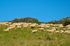 intervallo (Stefano E) Tags: campagna cielo pecore sinnai