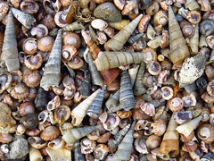 Original: More of my favorite things (beach treasure 18) (Snorkle-suz) Tags: shells newzealand mollusks aotearoa nz aramoana treasure myfavoritethings outdoors outside outdoor beaches beach canonpowershotsx700hs beachtreasure beachtreasures seashells shell seashell stilllife