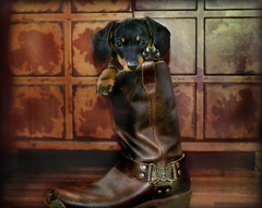 Boots, Class and A Lot of Sass (petlover44) Tags: portrait dog puppy photography rustic dachshund coth5