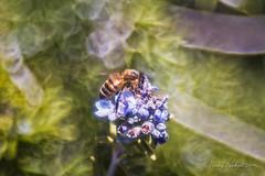 Bee Bokeh (Part 2) (brady tuckett) Tags: flowers light flower macro nature leaves leaf bokeh bees grlitz 100mm bee brady meyer tuckett trioplan meyeroptikgrlitz meyeroptikgrlitztrioplan100mmf28 meyeroptikgrlitztrioplan bradytuckett