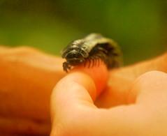 Escolopendra (Marc Cusco) Tags: trip travel viaje southamerica ro amazon rainforest colombia selva mil amazonas aventura insecto cien jungla suramrica escolopendra ciempis artrpodo escalopendra pluviselva