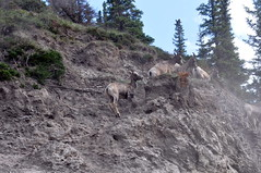Big Horn Sheep in the Rockies 4 (Tynan Phillips) Tags: cliff mountain canada mountains nature animal animals mammal bc sheep britishcolumbia wildlife rocky canadian bighorn horn mammals bighornsheep canadensis ovis oviscanadensis theycravethatmineral cravethatmineral