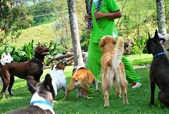 Mira como estamos de juiciosos (Dogs Resort Pereira) Tags: perros pereira juegodepelota fotosdeperros hotelparaperros guarderíaparaperros colegioparaperros guarderíacampestreparaperros hotelcampestreparaperros colegiocampestreparaperros perrosjugandopelota
