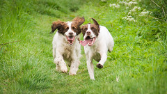 dogs-May 22, 2014-004 (henderson231280) Tags: summer dog dogs water grass scotland pointer spaniel sprointer