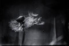 """Falling apart..."" (Ilargia64) Tags: blue blackandwhite texture nature dandelion melancholy fallingapart artandphotography amayasanchez"