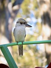May Onlooker ii (Yahweh Nature) Tags: park trees bird nature native outdoor wildlife natur australian kookaburra