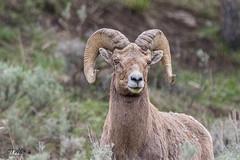 evening bighorn ram (chasingthewildoutdoors) Tags: wild nature animal canon outdoors sheep wildlife sigma bighorn horn springtime yellowstonewildlife 150600