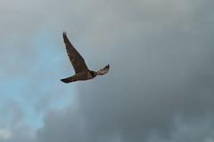 IMG_4189_edit (gipukan (rob gipman)) Tags: male tower female eos toren 7d kuikens slechtvalk olv langejan preybird canon24105lis tokina116