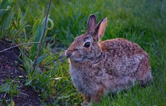 Weed wacker! (d.cobb56) Tags: rabbit animal morninglight spring seasons ambientlight massachusetts may newengland earlylight