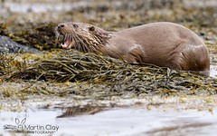 Eurasian Otter - 1st May 2016 (TopBeater) Tags: sea islands scotland inner otter isleofmull loch mammals mull otters hebrides scottishhighlands sealoch wildlifephotography ukwildlife mustelids ukmammal mammalphotography
