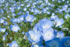 Wonderful blue (sonica@2006) Tags: world park blue field japan wonderful one was is seaside nice very side it fujifilm fujinon hitachi ibaraki the nemophila xm1 xf35mm