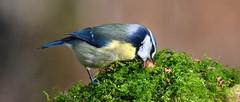 ONE BIG PEANUT By Angela Wilson (angelawilson2222) Tags: nottingham blue bird feeding peanut british songbird