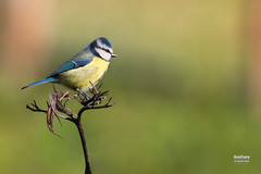 Herrerillo comn (Cyanistes caeruleus. Linnaeus, 1758) (EcoFoco juanma.coria) Tags: espaa naturaleza fauna aves otoo extremadura coria biodiversidad herrerillocomn valledelalagn cyanistescaeruleuslinnaeus1758 parquedecadenetas