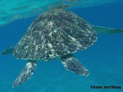 Chelonia mydas (tom.lorthios) Tags: wild nature animal turtle reptile martinique tortue verte ocan chelonia mydas