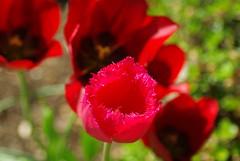 Die letzten Tulpen (ute_hartmann) Tags: