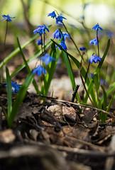 Scilla (TribeChristals) Tags: ranta kevt kukka