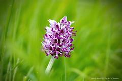 Kents original Monkey Orchid - Orchis simia (favmark1) Tags: kent orchids faversham wildorchids monkeyorchid orchissimia britishorchids kentorchids favershamorchids