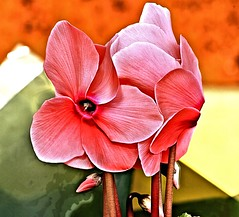 flower (Dennisbon) Tags: pink flower macro canon eos backyard outdoor australia melbourne 7d bloom cyclamen dennisbon